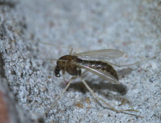 Brown midge with white legs - female