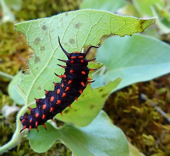 black-red - Battus philenor