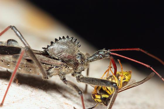 assasin bug? - Arilus cristatus
