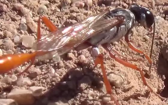 Thread-waisted Wasp Burrowing - Ammophila - female