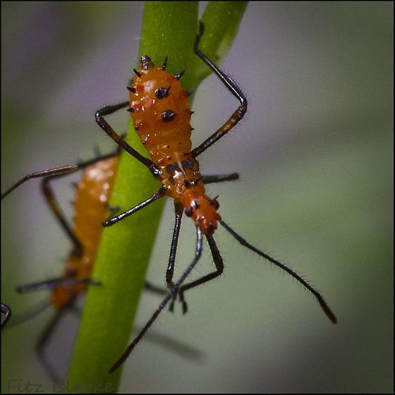 Aphid type Bug on Sweet Alyssum, Lobularia maritima - Leptoglossus