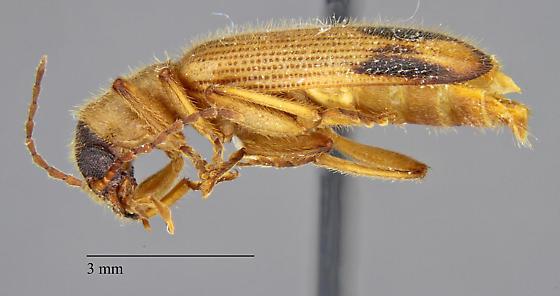 Cleridae: Cymatodera sp.? - Cymatodera