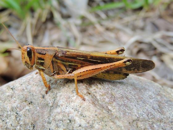 AL - Birdwing Grasshopper - Schistocerca americana - female