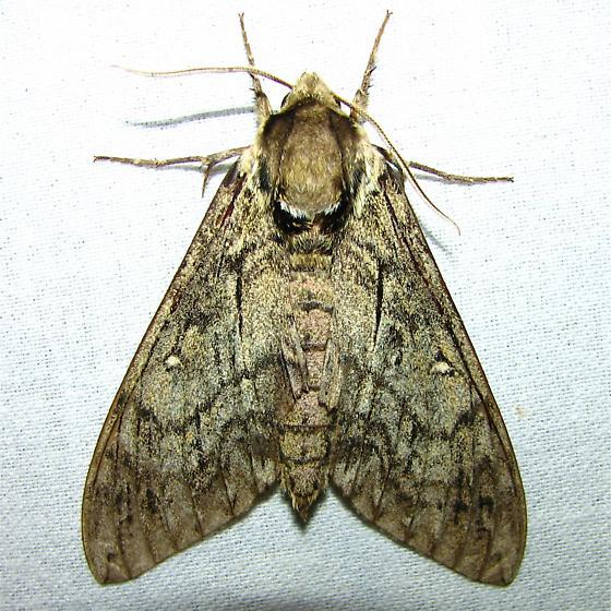 Ceratomia undulosa - Hodges #7787 - Ceratomia undulosa