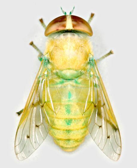 BG1666 D0241a - Chlorotabanus crepuscularis - female