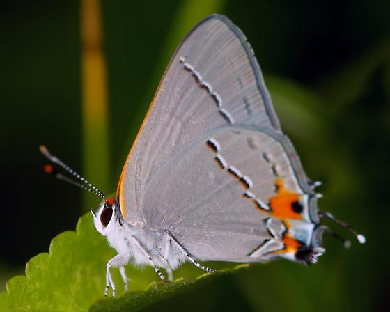 a beautiful butterfly - Strymon melinus