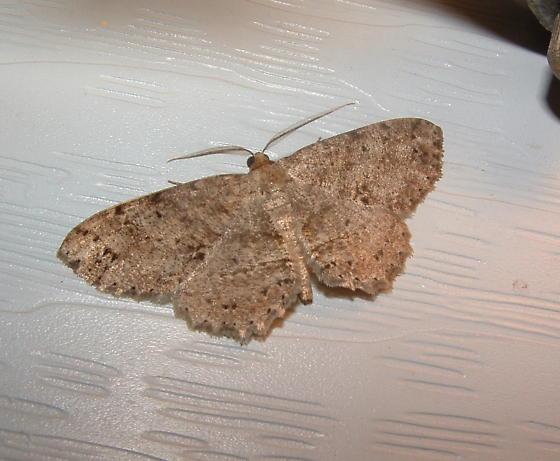 Moth ID - Melanolophia signataria