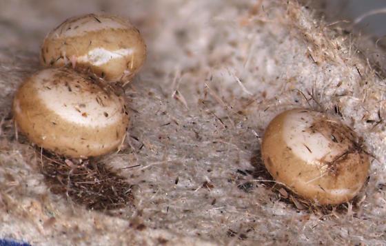 Polyphemus, eggs - Antheraea polyphemus