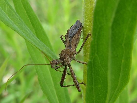Assassin Bug?? - Sinea