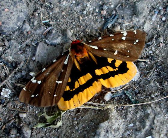 Moth - Arctia parthenos