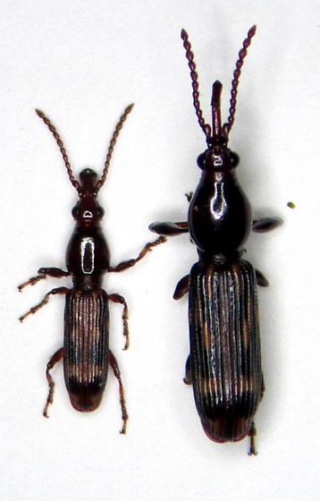 Arrhenodes minutus - male - female