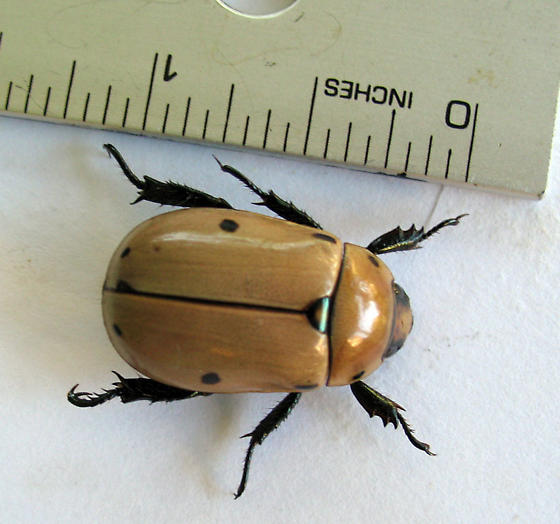 Brown beetle with spots - Pelidnota punctata