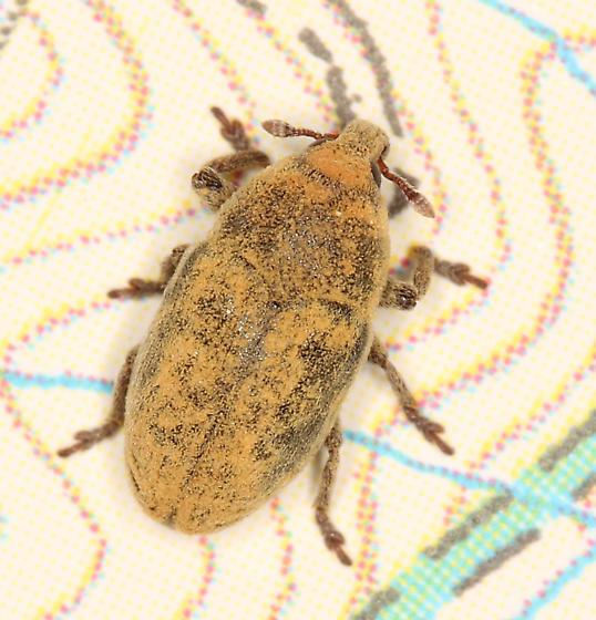 Seedhead Weevil? - Larinus minutus