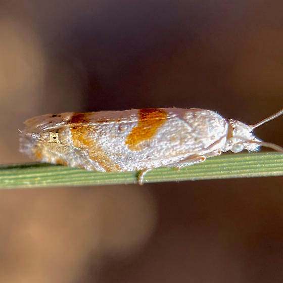 Tortricid, maybe Eucosma or Pelochrista?