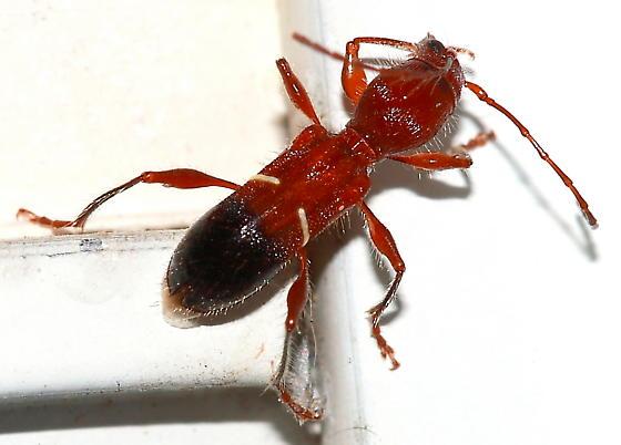 Longhorned Beetle - Euderces picipes