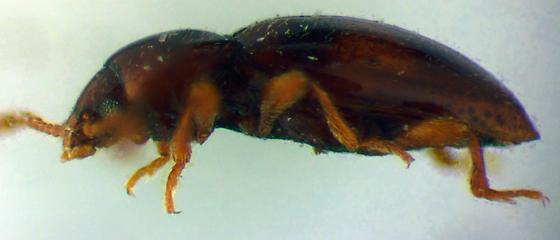 Stethorhanis borealis Blaisdell - Stethorhanis borealis - male