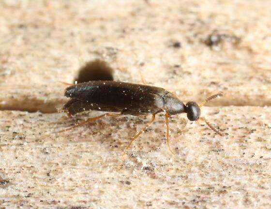 Ripiphorid - Pelecotoma flavipes - female