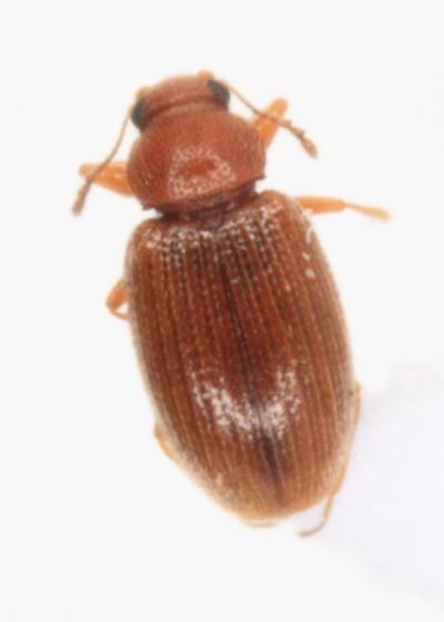 Corticarina sp. - male