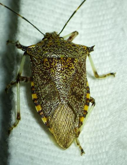 Alcaeorrhynchus grandis - Giant Strong-nosed Stink Bug - Alcaeorrhynchus grandis