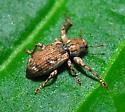 weevil - Scalaventer subtropicus