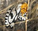 Gold Moth 1 - Hemileuca hera