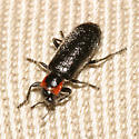 beetle - Placopterus thoracicus