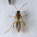 Wasp - Formica