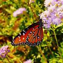 Butterflies - Danaus gilippus