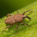 Snout Beetle - Sphenophorus minimus