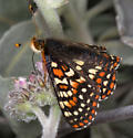 Edith's Checkerspot on Eriodictyon at Pinnacles NM - Euphydryas editha