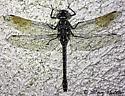 Dragonfly - Gomphaeschna furcillata