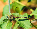 Dragonfly patrolling the garden ... ID, please. - Pachydiplax longipennis - female