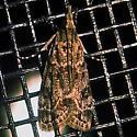 Double-striped Scoparia Moth Hodges - Hodges #4716 (Scoparia biplagialis) - Scoparia biplagialis