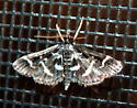 9/17 moth 1 - Diasemiodes janassialis