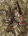 Carnivorous Fly with prey - Coenosia tigrina