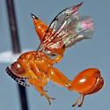 orange chalcidoid - Conura - female