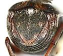 Bruchini  - Megacerus