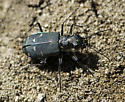 Tiger Beetle - Cicindela depressula