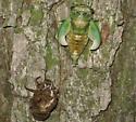 Green cicada ID - Neotibicen pruinosus