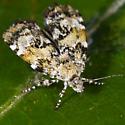 Unknown Moth - Choreutis diana