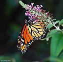 Monarch - Danaus plexippus - male
