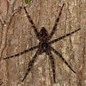 large spider chilling out on tree trunk - Dolomedes tenebrosus