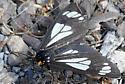 Black and White Moth - Gnophaela vermiculata