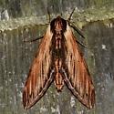 Laurel Sphinx - Sphinx kalmiae