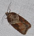 Fall Tortricidae - Acleris