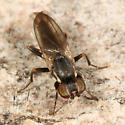 Small Fly - Clusiodes ater