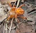 Araneus marmoreus - female