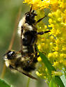 Bombus queen & male on Goldenrod - Bombus fernaldae - male - female
