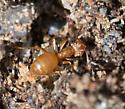 Small Orange Ant - Lasius umbratus