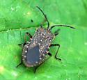Squash Bug ? - adult - Anasa tristis